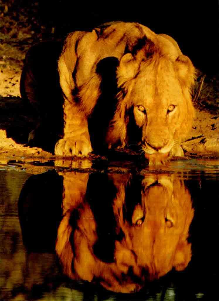 O Leão Que Ruge